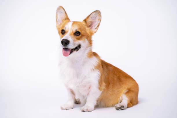 Obedient dog breed welsh corgi pembroke sit on a white background not picture id1185231593?b=1&k=6&m=1185231593&s=612x612&w=0&h=bknnjxhlwa0lppdtkvu067brwpzik0pbc49owu5 ah8=