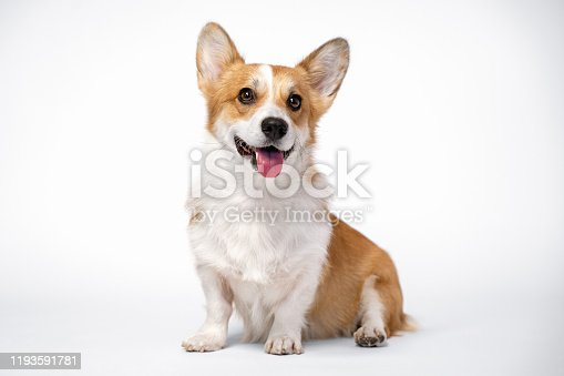 obedient dog (puppy) breed welsh corgi pembroke sitting and smiles on a white background. not isolate