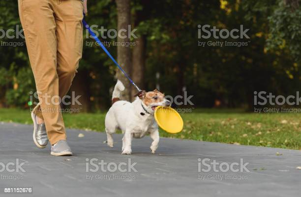 Obedient dog next to owner walking on leash holding toy in mouth picture id881152676?b=1&k=6&m=881152676&s=612x612&h=cs ee4ov xr7gz7qbfv2redga1fvevaupewtyarpsjg=