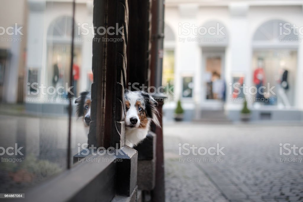 Obedient dog on the street, Europe, old city. Aussie royalty-free stock photo
