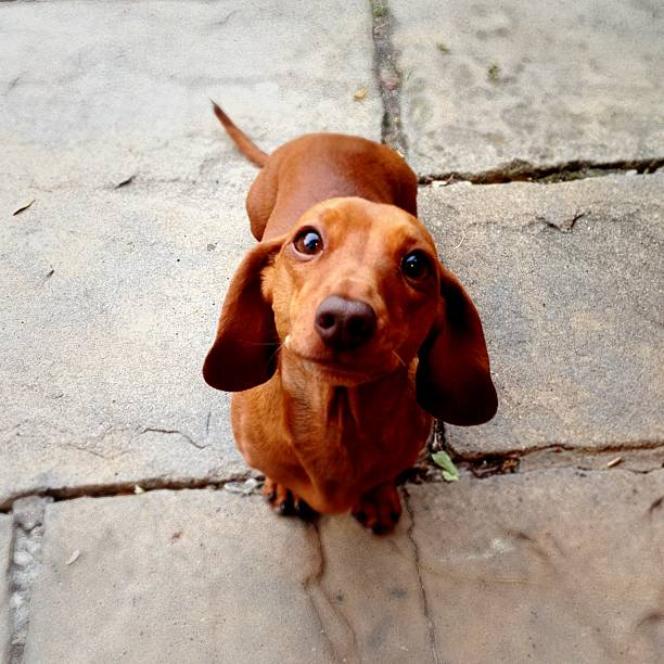 obedient dog - tax bildbanksfoton och bilder