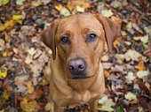 A labrador retriever sitting on fallen autumn leaves. The colour of the dog matches the leaves. The view is from above, and the dog is looking expectantly at the photographer