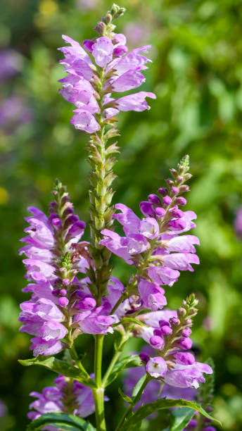 obedient plant, Physostegia virginiana stock photo