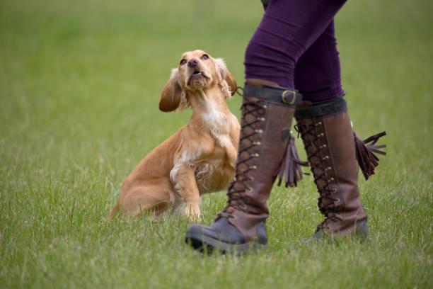 gehorsam springer spaniel wartet auf anweisungen von seinem besitzer während ein mini-hund testversion - dressierter hund stock-fotos und bilder