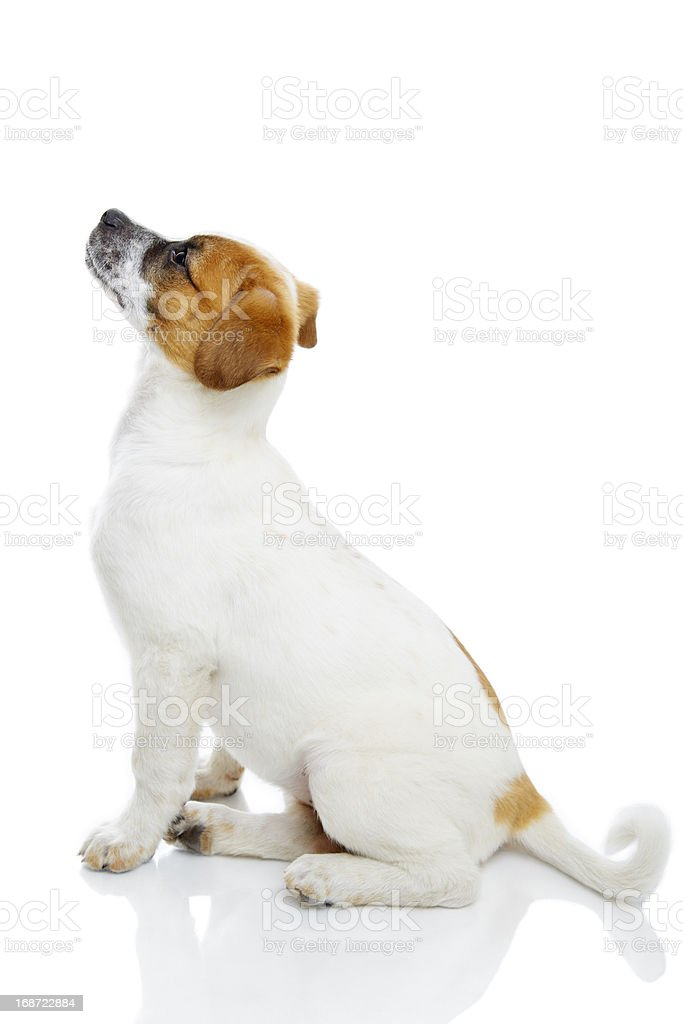 Obedient terrier dog royalty-free stock photo