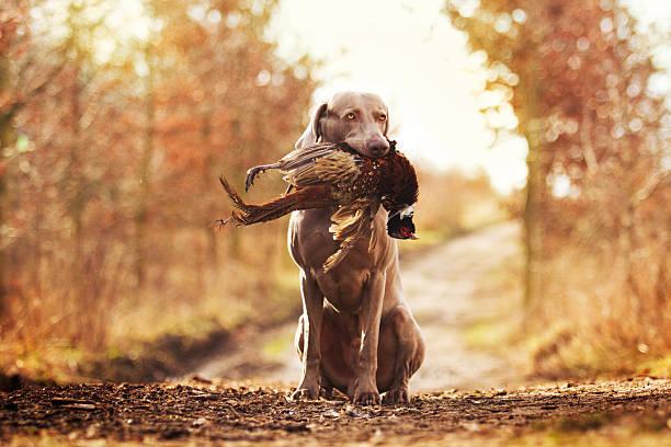 obedient, jóvenes y enojado Niza weimaraner o cachorro perro - foto de stock