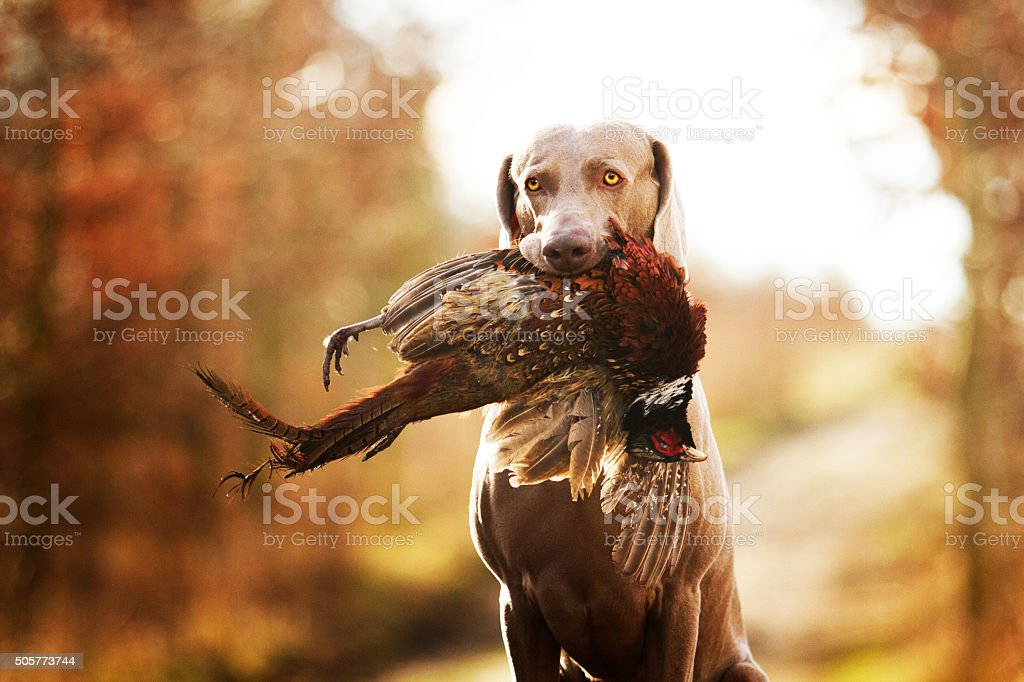 obedient, young and angry nice weimaraner dog or puppy stock photo
