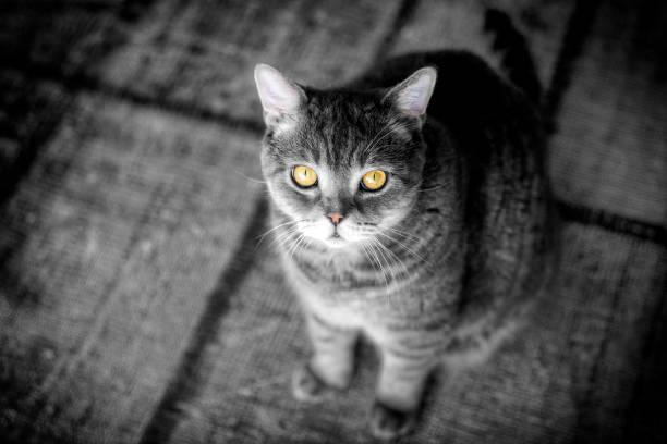 Chat obèse British shorthair regardant avec les yeux jaunes - Photo