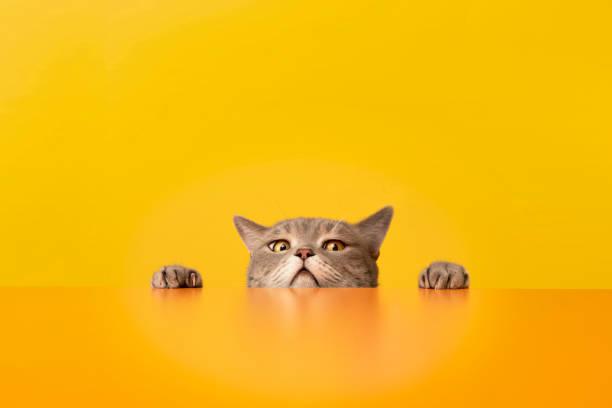 Obese cat looking sideways at the target behind the desk obese sort picture id1198421827?b=1&k=6&m=1198421827&s=612x612&w=0&h=kzbtssxrwioih8a39na1jdxjrvam zo uwa dpqk5bq=