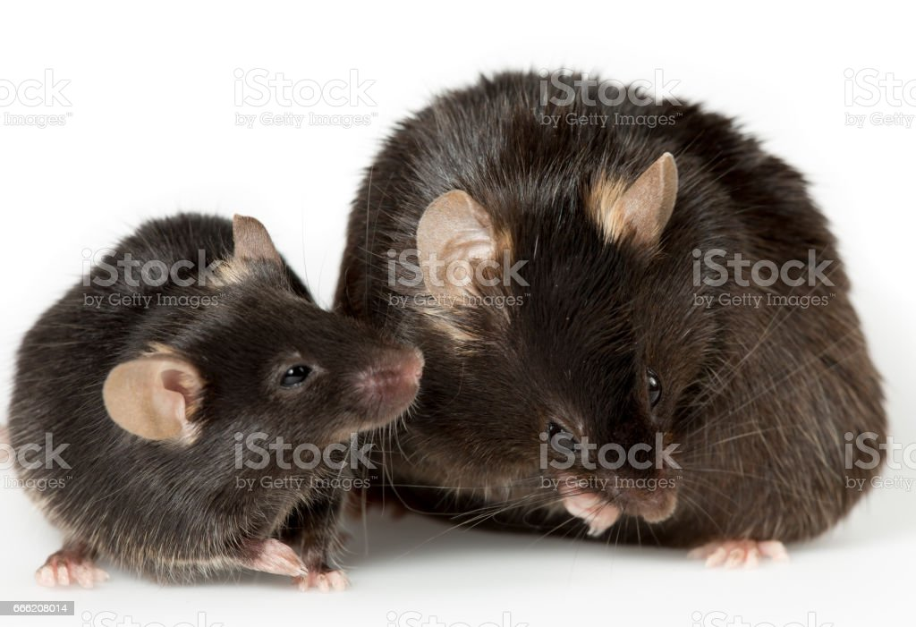 zwaarlijvige muis in laboratorium royalty free stockfoto