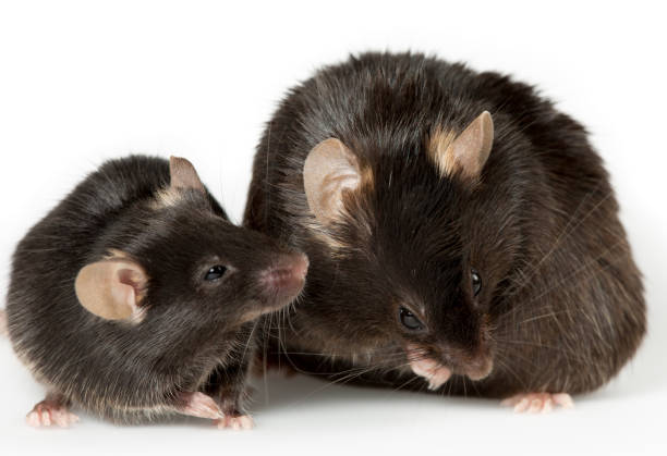 obese mouse in laboratory stock photo