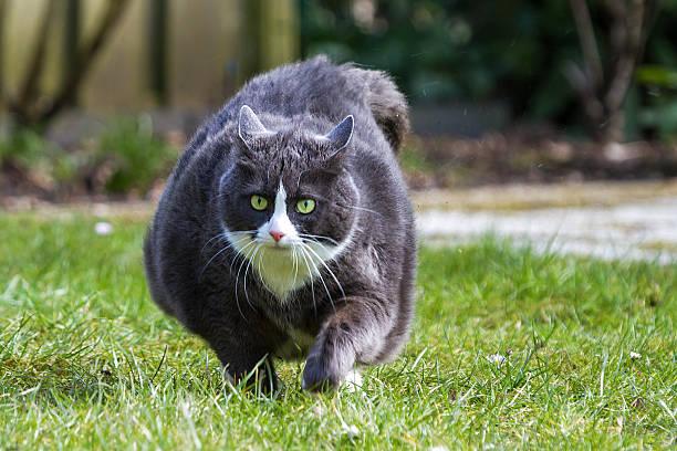 obese run - suche katze stock-fotos und bilder
