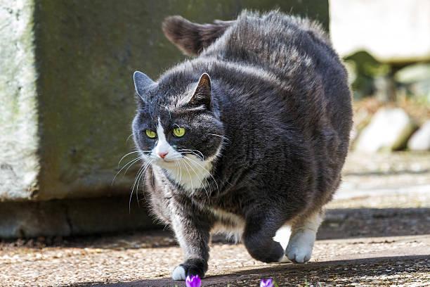 obese walk - suche katze stock-fotos und bilder