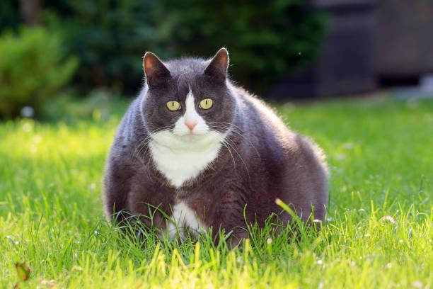 Obesicat in spring picture id640140894?b=1&k=6&m=640140894&s=612x612&w=0&h=rbqufjdo87dpxzjzsovty3zc0wf7dfyh egzpzavtie=