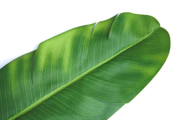 Object White Background Banna Leaf stock photo