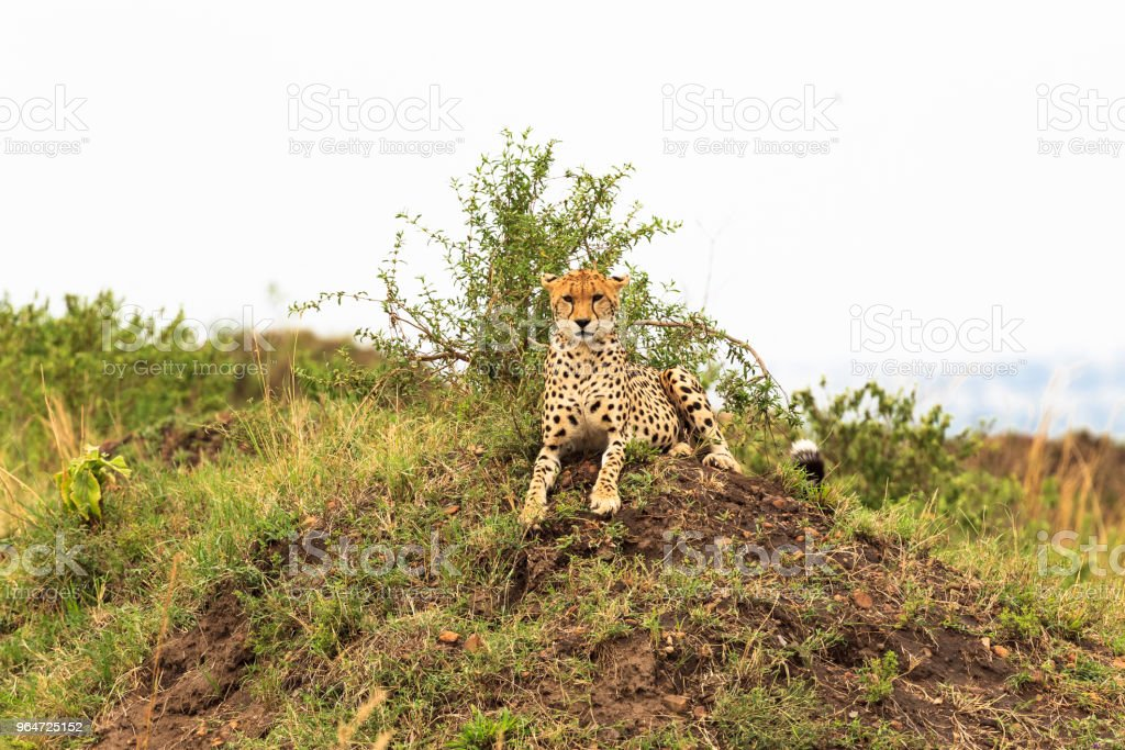 Observation point in savanna. Masai Mara, Kenya royalty-free stock photo