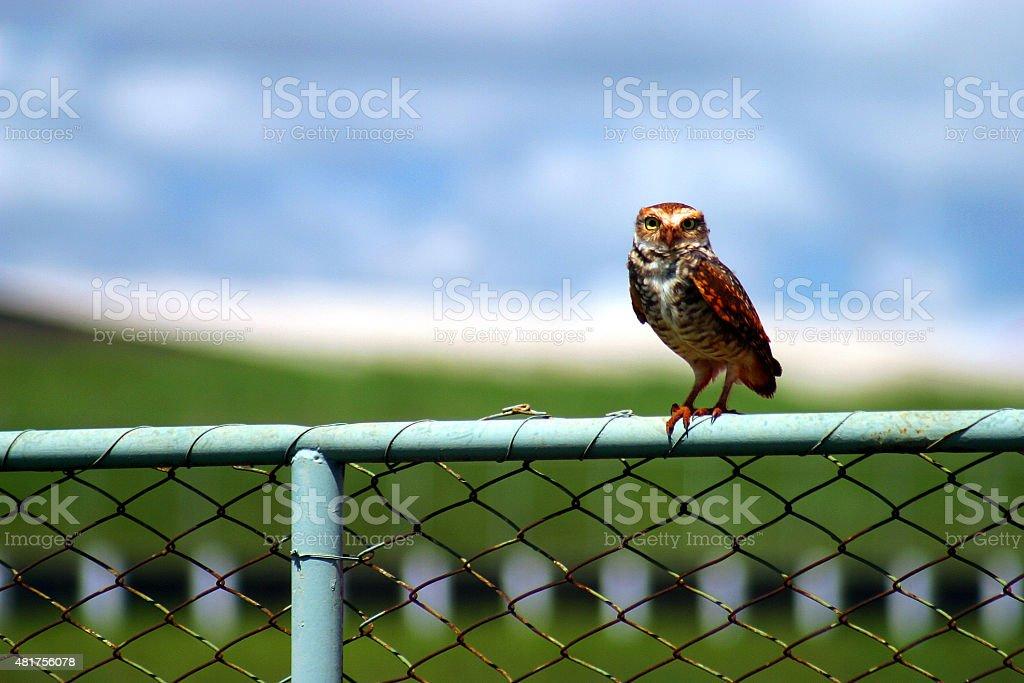 Observador coruja em um muro foto royalty-free