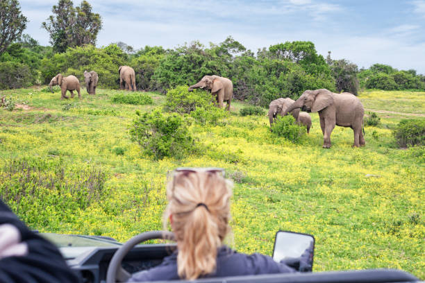 Observing a grazing herd of elephants on safari in South Africa Luxury safari in South Africa. Observing grazing elephants in the wilderness out from cabriolet off-road vehicle. Game drive with woman guide. kruger national park stock pictures, royalty-free photos & images