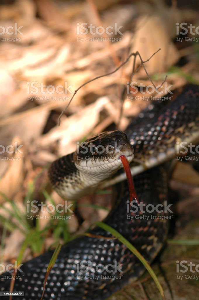 Pantherophis obsoletus stock photo