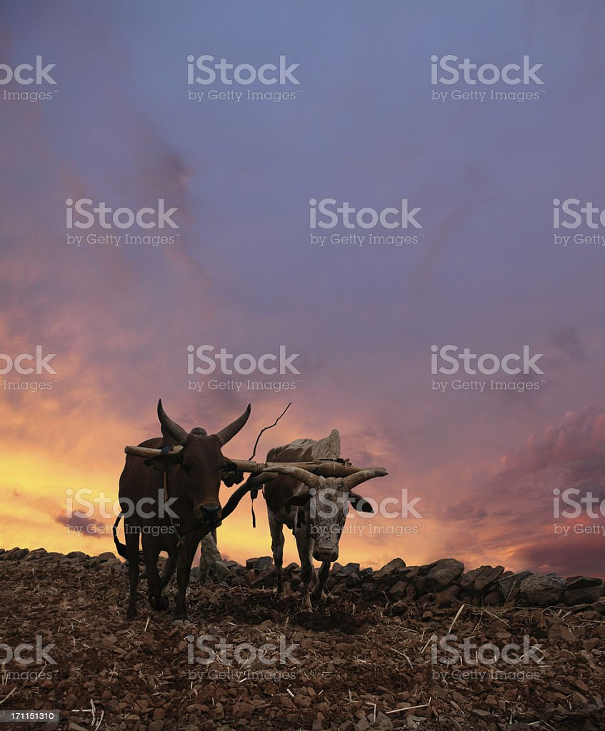 Obsolete Plow with Two Cows royalty-free stock photo