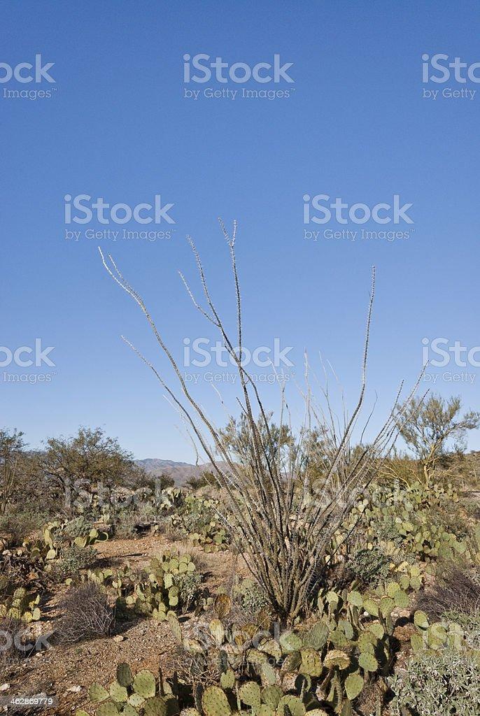 Ocatillo Plant stock photo