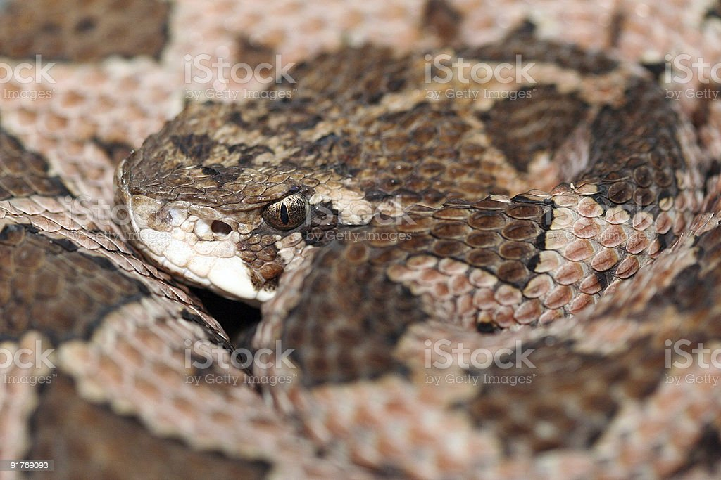occidum viper royalty-free stock photo