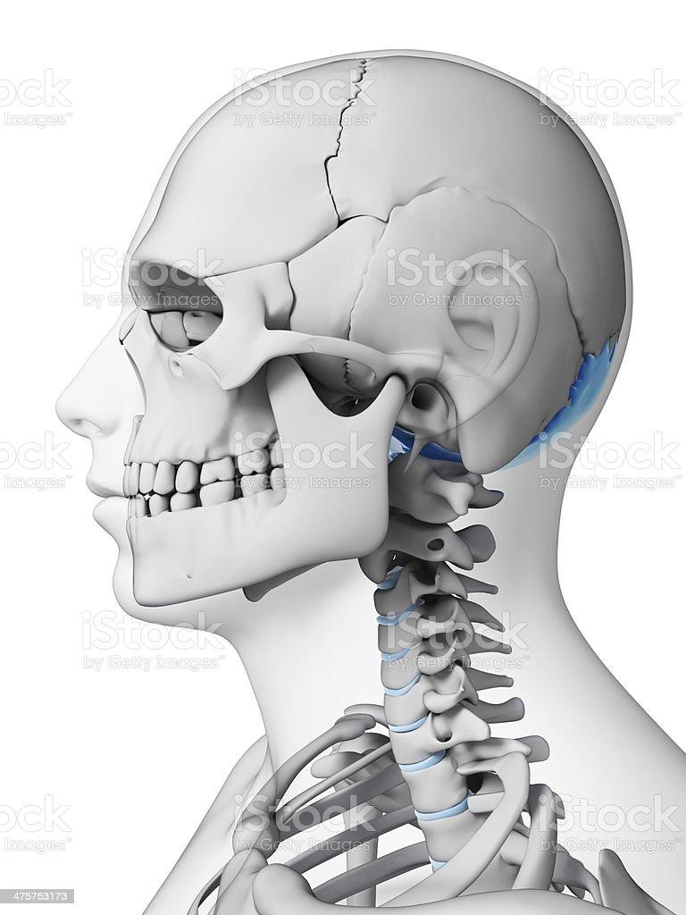 occipital bone stock photo