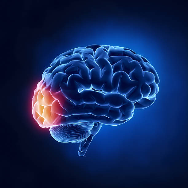 Occipital lobe - Human brain in x-ray view http://www.theeuphoria.com/01b.jpg occipital lobe stock pictures, royalty-free photos & images