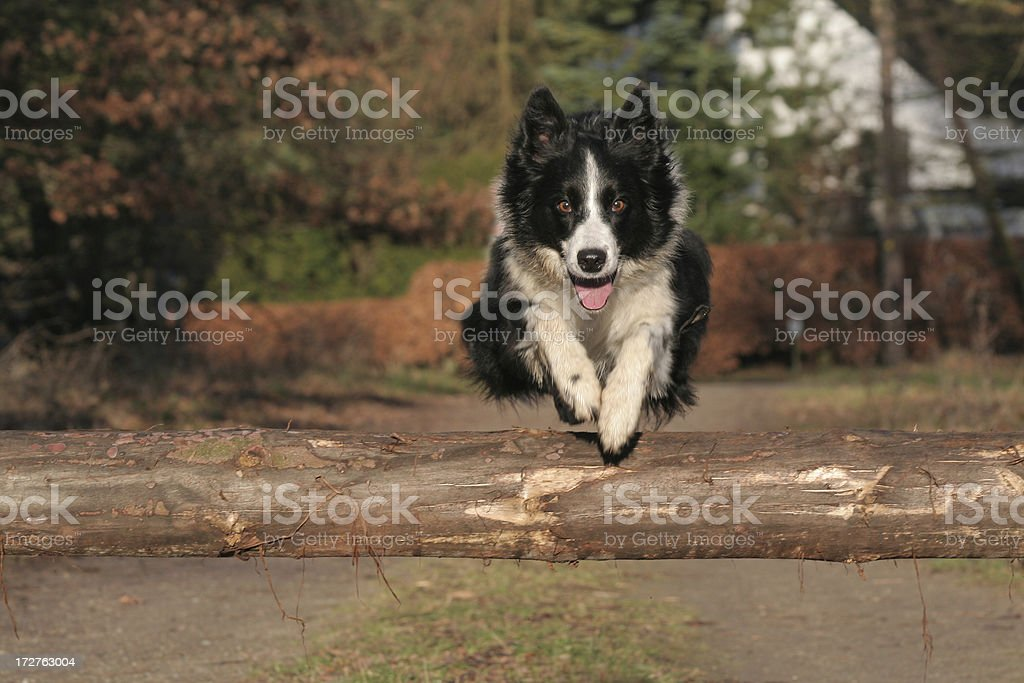 Occupation for a Border Collie. royalty-free stock photo