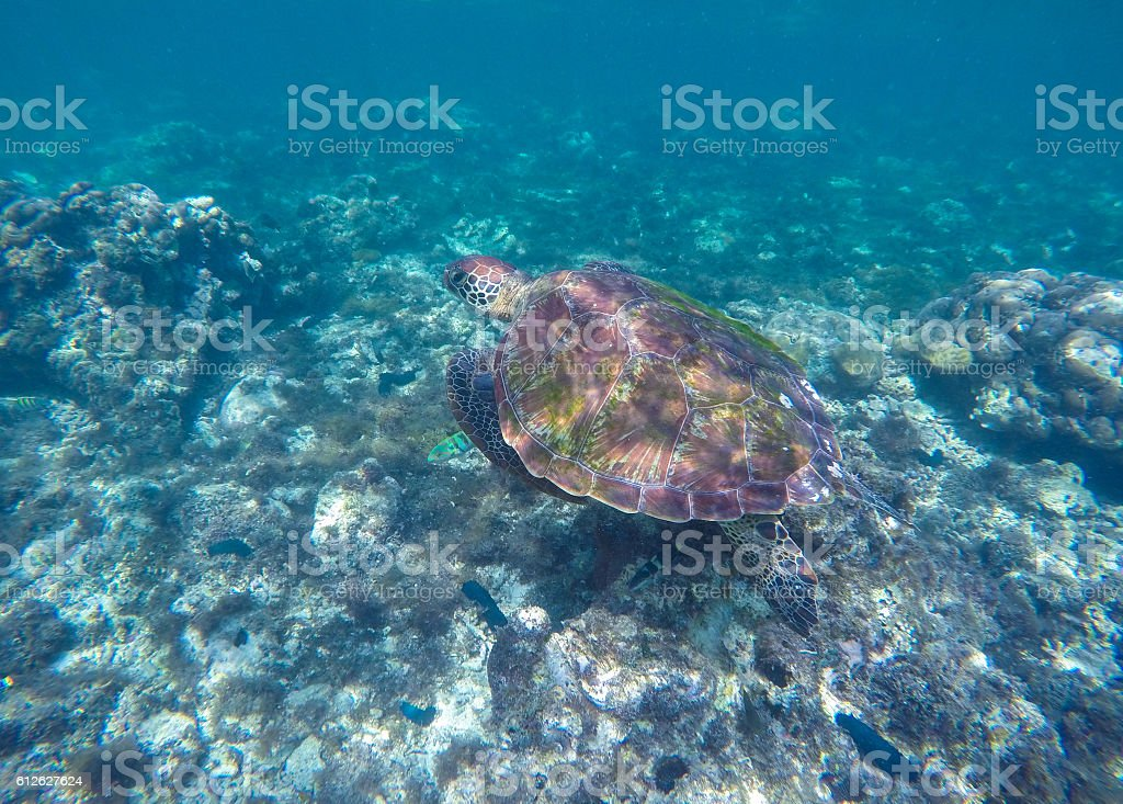 Ocean animal green sea turtle with big shell with seaweeds stock photo