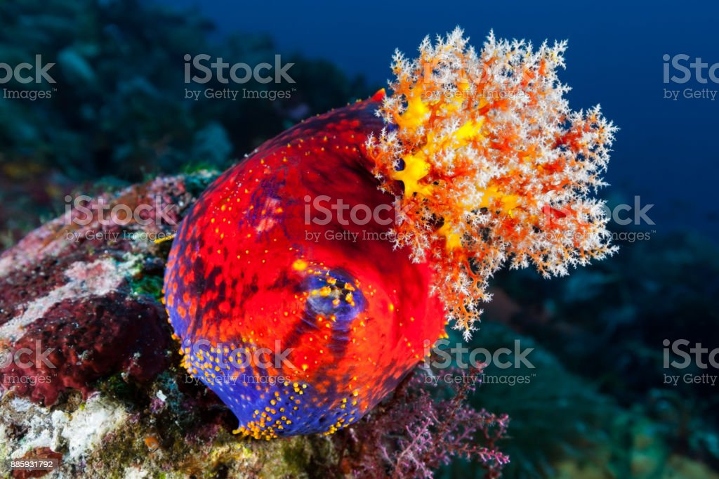Ocean Beauty, Color Symphony, Sea Apple Pseudocolochirus violaceus, Nusa Tenggara Timur, Indonesia stock photo