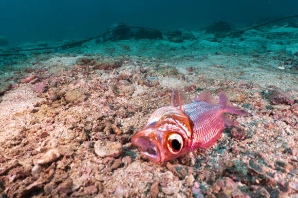 Ocean pollution dead fish on ocean floor Bronze soldierfish (Myripristis adusta) stock photo