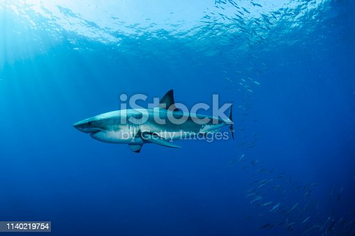 A Great White Shark in Guadalupe Island in Mexico