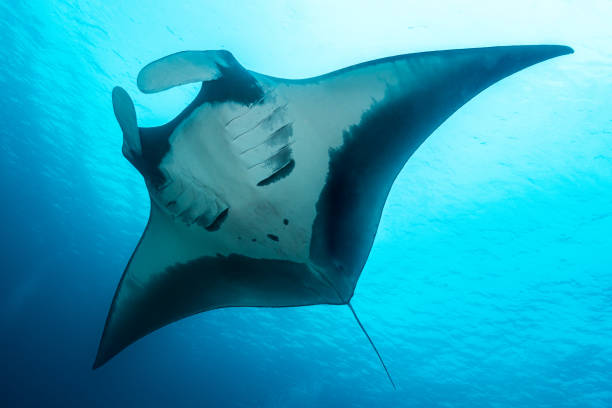 Oceanic manta ray flying around a cleaning station in cristal blue water stock photo