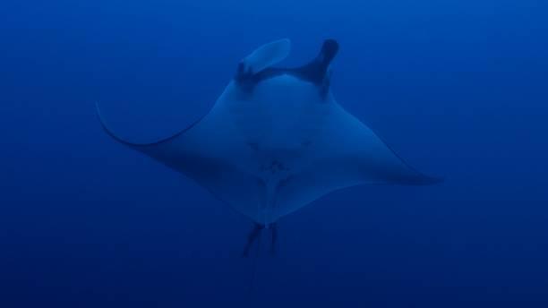 Oceanic Manta Ray swimming under sea surface, Maldives stock photo