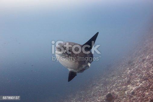 istock Oceanic Sunfish underwater 537893137