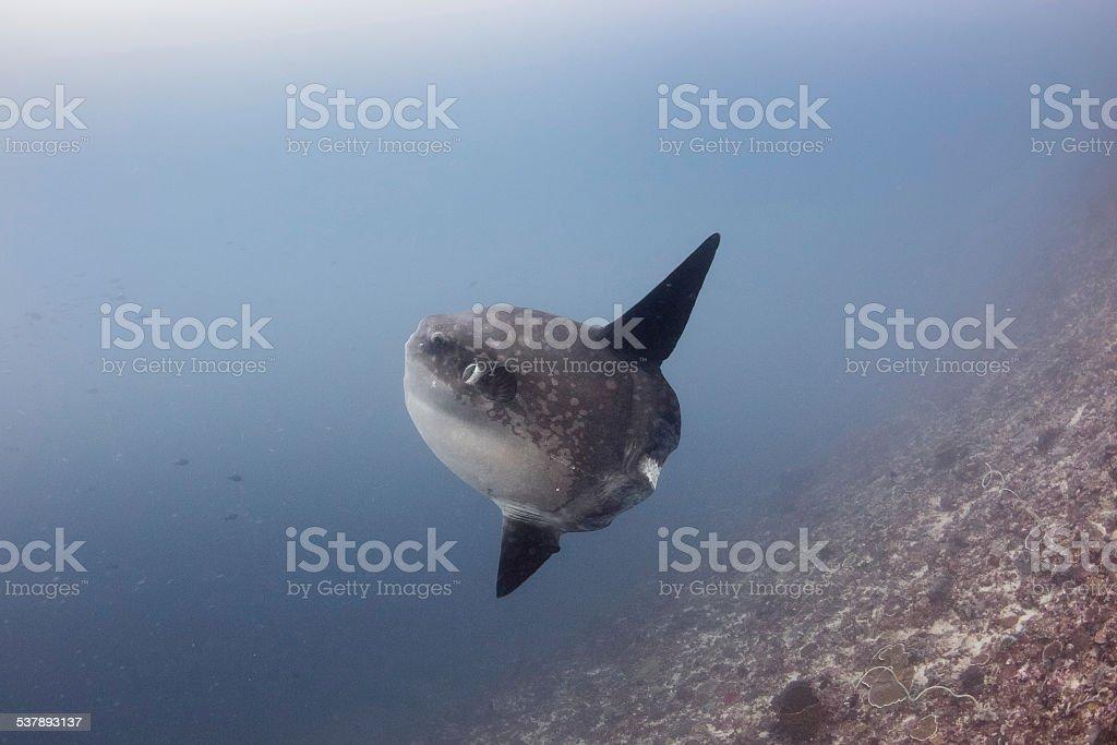 Oceanic Sunfish underwater stock photo