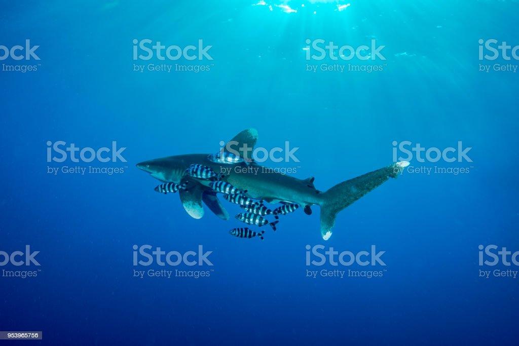 Oceanic whitetip shark in Red Sea stock photo
