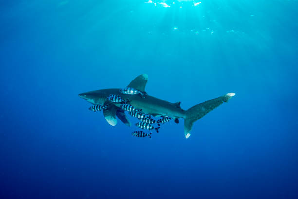 Oceanic whitetip shark in Red Sea - foto stock