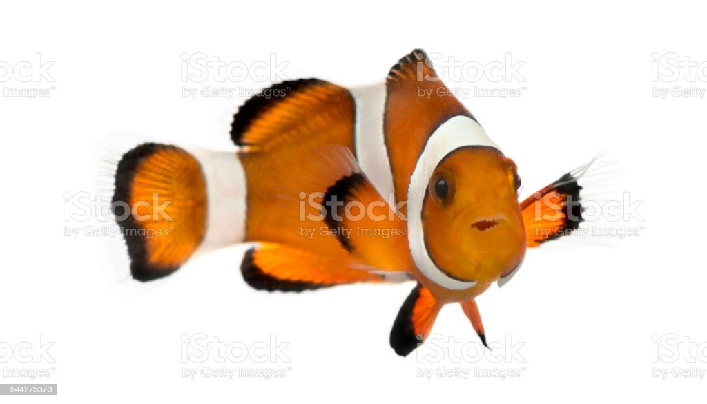 Ocellaris clownfish, Amphiprion ocellaris, isolated on white stock photo