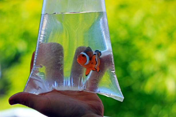 Ocellaris clownfish in the bag is ready to be transported to new home Ocellaris clownfish in the bag is ready to be transported to new home nemo museum stock pictures, royalty-free photos & images