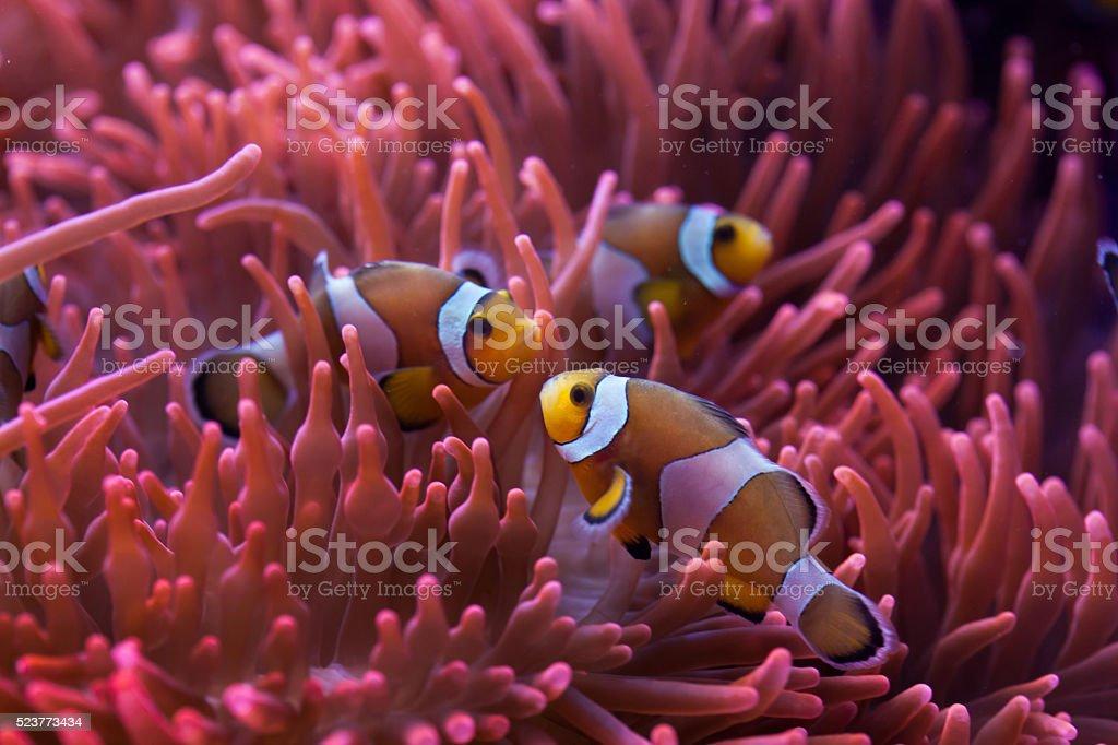 Ocellaris clownfish (Amphiprion ocellaris). stock photo