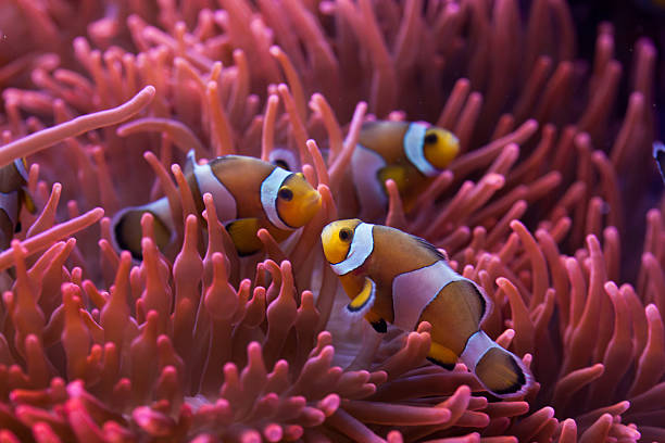 Ocellaris clownfish (Amphiprion ocellaris). Ocellaris clownfish (Amphiprion ocellaris) swimming in the magnificent sea anemone (Heteractis magnifica). Wild life animal. anemonefish stock pictures, royalty-free photos & images
