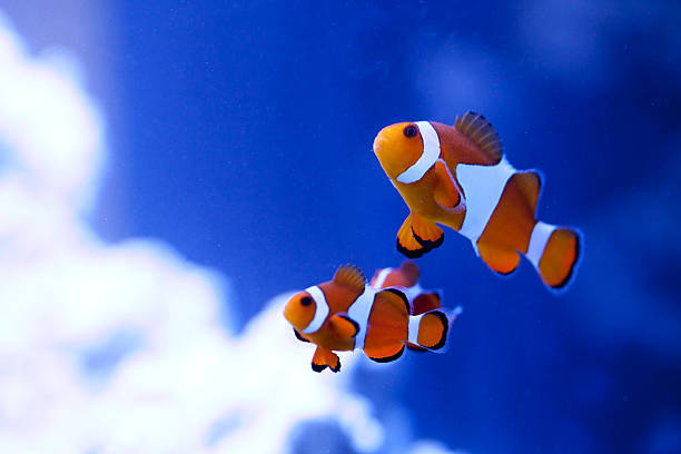 Ocellaris Clownfish Ocellaris Clownfish, with their rich orange color and three distinctive white bars, are one of the most recognizable type of clownfish. These shy fish are relatively hardy and can have a long lifespan. They make a great option for your first marine aquarium. anemonefish stock pictures, royalty-free photos & images