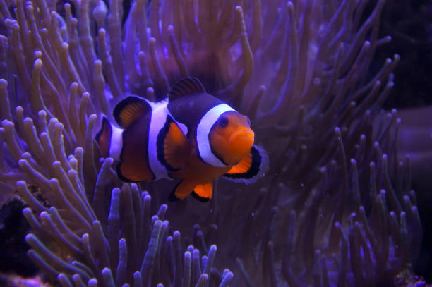 Ocellaris clownfish One Ocellaris clownfish nestled in a magnificent sea anemone. nemo museum stock pictures, royalty-free photos & images