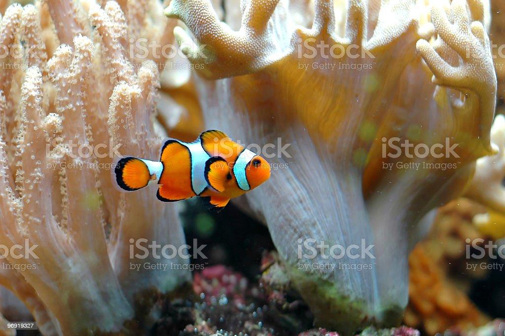 Ocellaris clownfish royalty-free stock photo