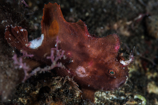 istock Ocellated Frogfish on Black Sand 1154436630