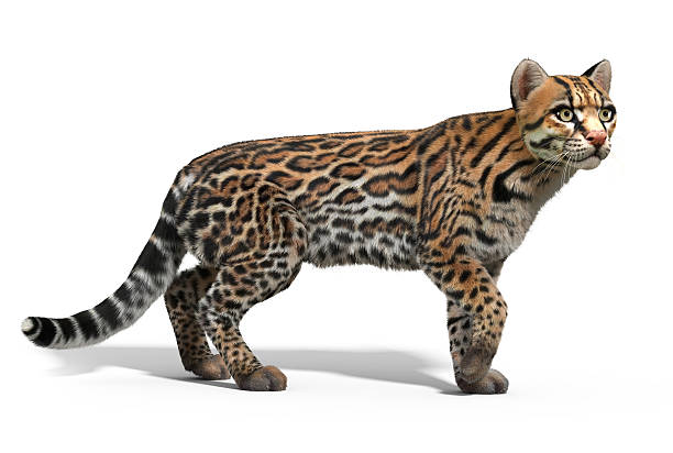 ocelot cat - ocelot foto e immagini stock