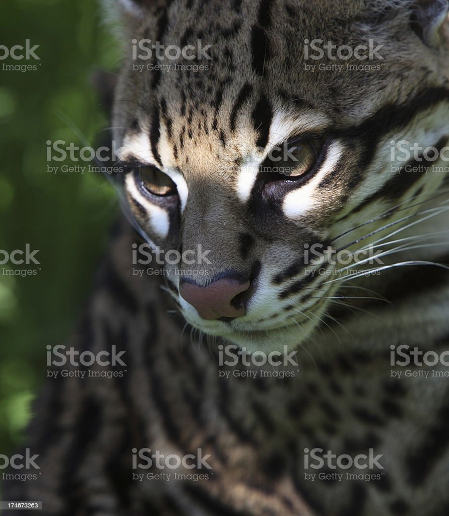 Ocelot caught in the light royalty-free stock photo