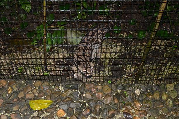 ocelot dans un enclos au belize zoo - cage animal nuit photos et images de collection